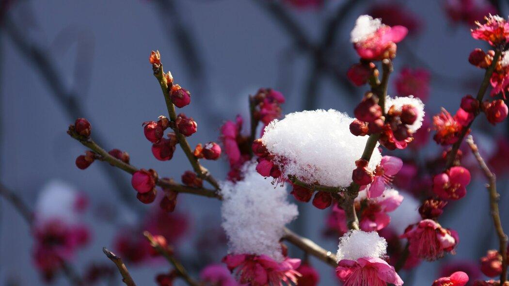 춘삼월 설중홍매