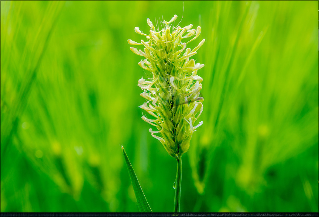 꽃 - 79 (찔레꽃, 인동덩굴, 코스모스, 보리, 덜꿩나무, 철쭉)