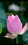 장안사 연꽃들 (부제 : 꿀벌들의 비행)