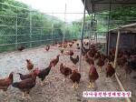 토종닭기르기 토종닭이 엄청 많이 컸어요~ 가나골친환경체험농장