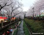 여좌천 벚꽃, 진해 벚꽃축제 2015 방문 후기