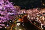 [워킹홀리데이] 벚꽃 구경 - 우에노 공원, 롯폰기