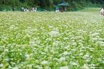 울산 울산대공원 메밀꽃, 하얀 세상이 참 좋았던 날