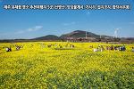 제주 유채꽃 명소 추천여행지 5곳 (산방산, 엉덩물계곡, 가시리, 섭지코지, 함덕 서우봉)
