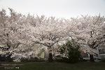 온천천의 봄