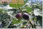 해남무화과 판매 중~ 꽃을 품은 신비한 열매 무화과를~ 해남무화과로!