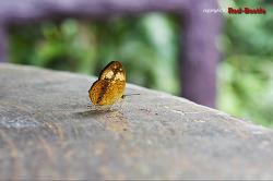 [외국곤충] 수수하면서도 화려한 태국산 네발나비류