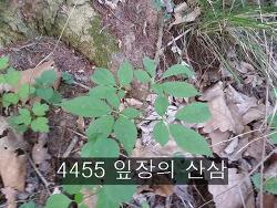4455 잎장의 산삼 사진 기록