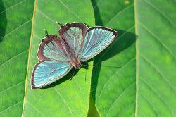암붉은점녹색부전나비
