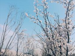 어느 봄날의 벚꽃