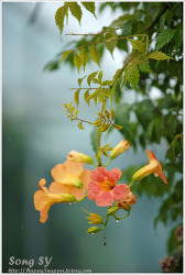 능소화와 꽃들..