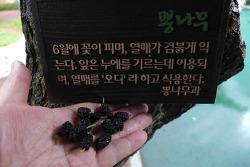 [20170626]안양6동 명학공원 뽕나무와 오디 이야기