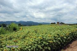 함안 강주 해바라기축제 - 노란 물결 속 즐거움