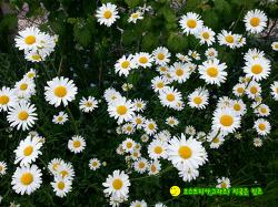 시아버지의 말없는 사랑, 마가렛 꽃