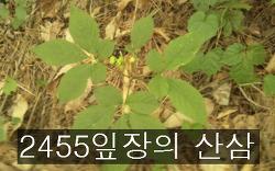 2455 잎장의 산삼 사진 기록