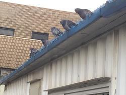지붕 위 비둘기