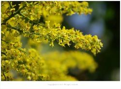 [6월 꽃나무] 모감주나무(염주나무) 이야기 - 대구수목원에서
