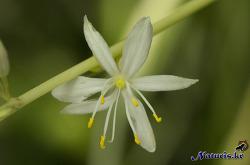 무늬접란꽃