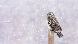 쇠부엉이의 소리없는 스텔스 비행 Short-eared Owl ~