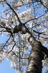160401 막찍어 - 경주 봄날, 벚꽃