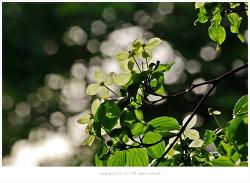 [5월 흰꽃나무] 역광이 멋스러운 산딸나무