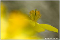 충남 아산 야생화 피나물