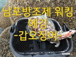 남포방조제 쭈꾸미 낚시중 낚인 갑오징어!