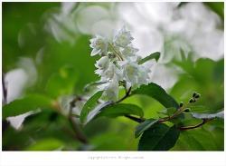 [5월 흰꽃나무] 만첩빈도리 이야기  - 올림픽공원에서