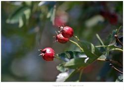 산사나무열매(산사.산사자)효능-천연소화제.지방분해효능.항산화작용.혈액순환개선.심장기능장애.고지혈증.고혈압치료.고기먹고체했을때/약용식물