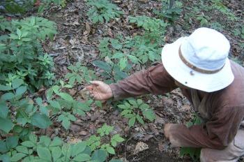 산삼 분재가 대세! 식목일 체험학습, 최고의 교육용 재료로 급부상!