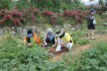 감자수확하기(6월중순~7월중순)