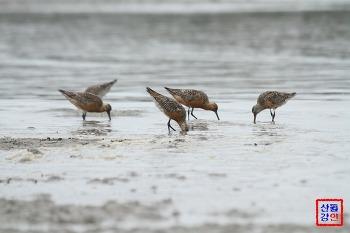 서해안 갯벌에서 큰뒷부리도요의 먹이활동 관찰