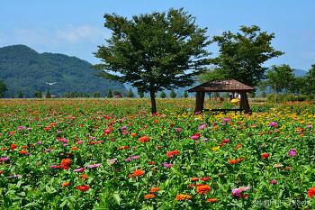 [창녕여행] 알록달록 꽃물결을 이룬 백일홍, 창녕 남지 백일홍 축제