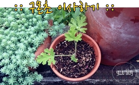 모기퇴치식물::구몬초 이사하기