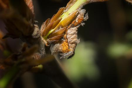 황세줄나비 애벌레 (사육개체)