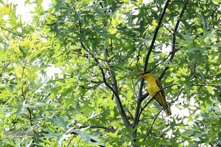 기청산식물원의 특별한 새 꾀꼬리
