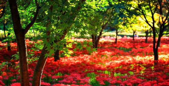불갑사 꽃무릇