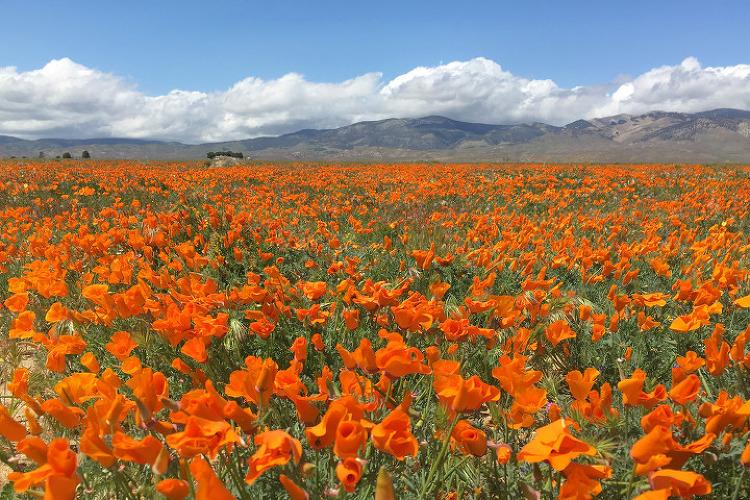 슈퍼블룸(Super Bloom)을 찾아서~ 앤틸롭밸리(Antelope Valley) 캘리포니아파피(California Poppy)