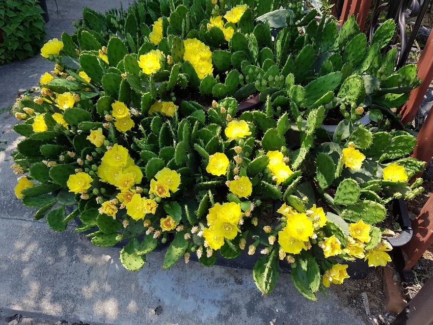 샛 노란 선인장 꽃