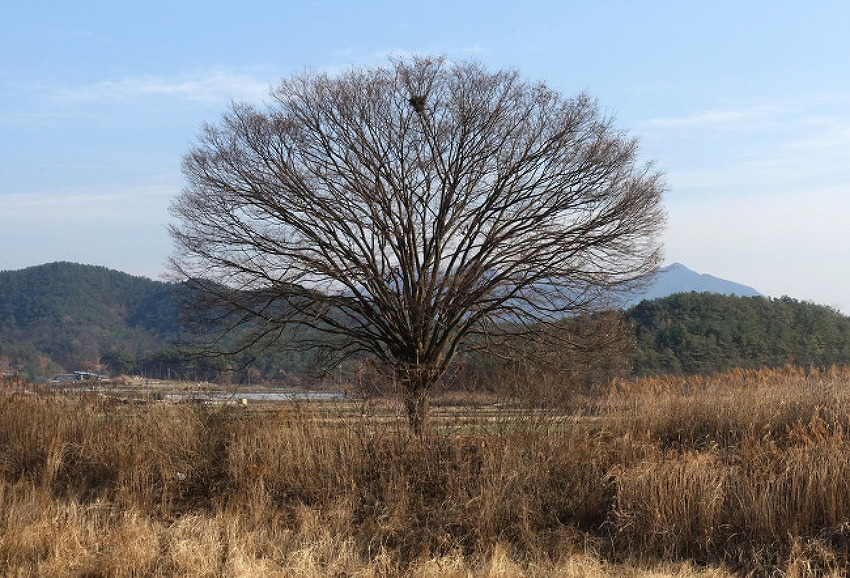 고향의 고목나무