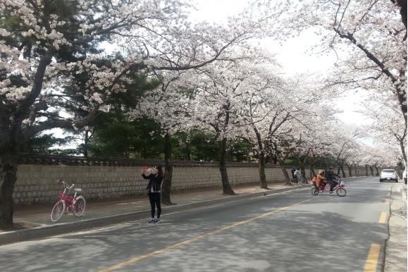 경주 벚꽃축제