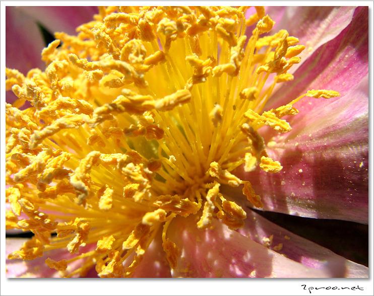 작약 꽃 사진