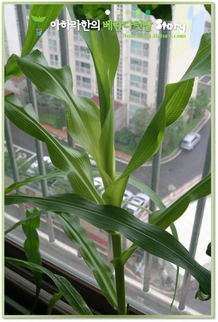 베란다텃밭에서 자라는 옥수수 VS 텃밭에서 자라는 옥수수 비교