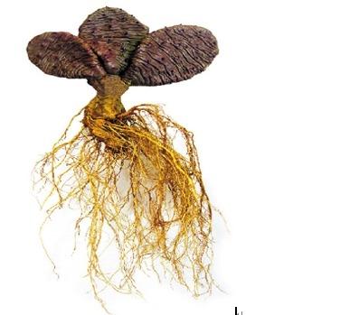 [토종백년초]남해토종백년초가 가지는 효능과 백년초 먹는 법