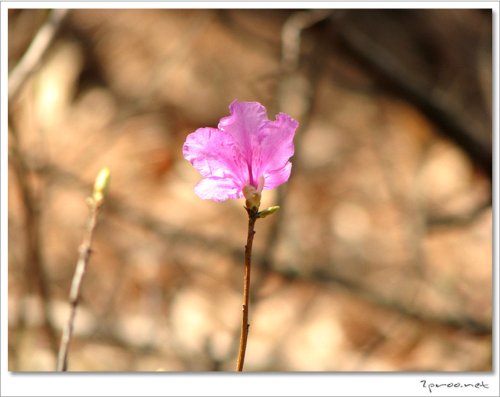 진달래꽃 사진