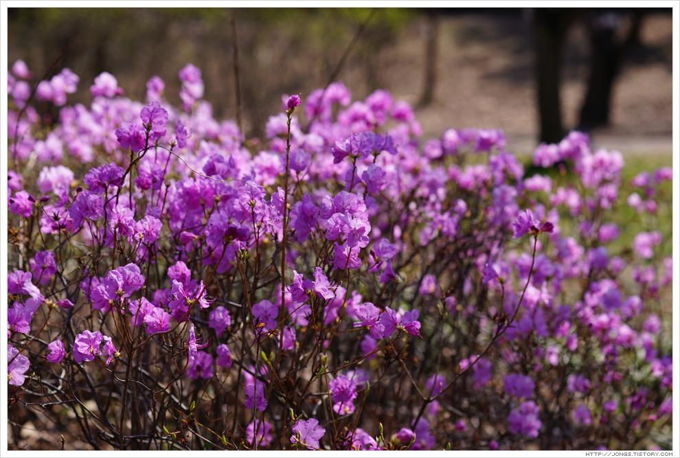 [3월, 붉은색] 봄날을 가고-진달래꽃