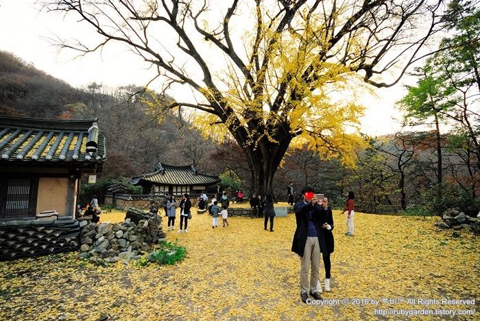 경주 여행 / 은행나무 아름다운 운곡서원의 만추