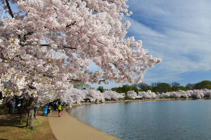 2016 벚꽃축제 ④ 강릉 경포 벚꽃잔치