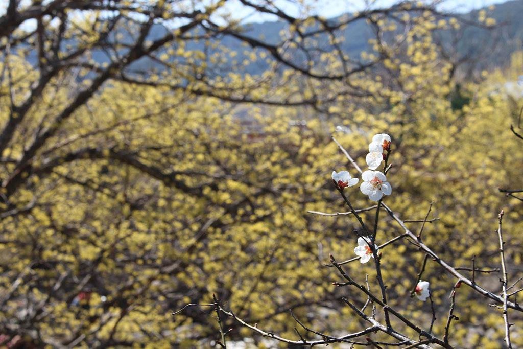 반곡마을 매화나무