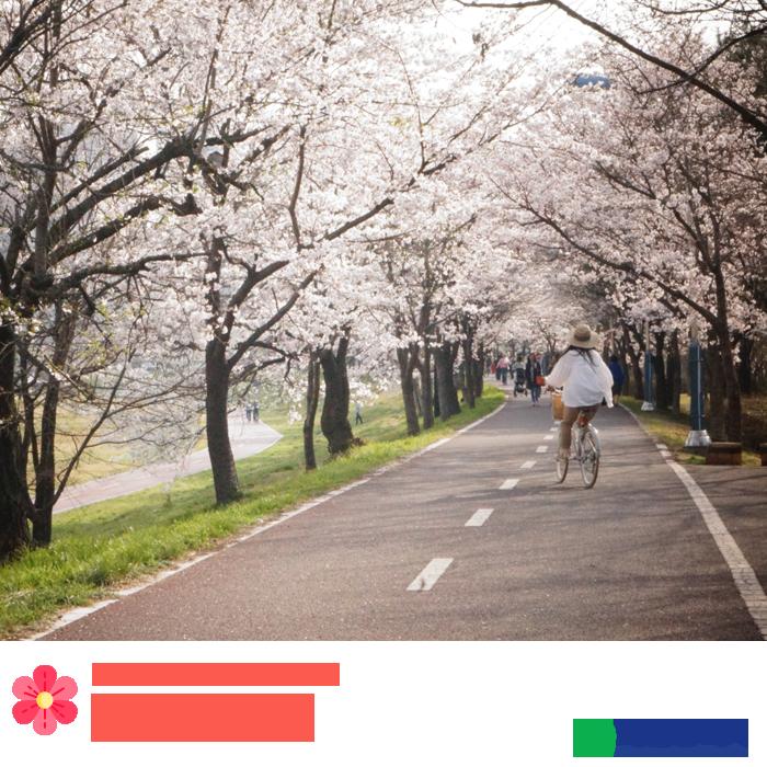 봉명동 갑천산책길 벚꽃
